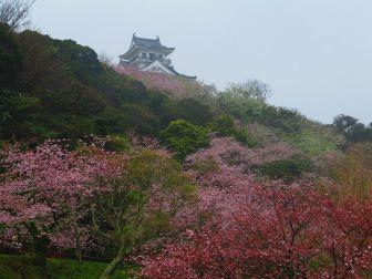 房総 やっと桜の開花です!